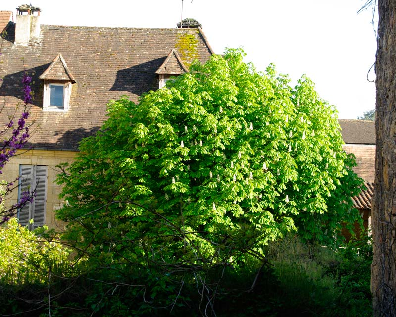 Aesculus hippocastanum - the Horse Chestnut tree, this one in the Dordogne region of France at Sarlat.