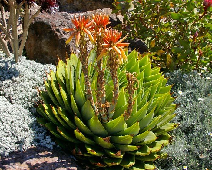 Aloe polyphylla.  In flower