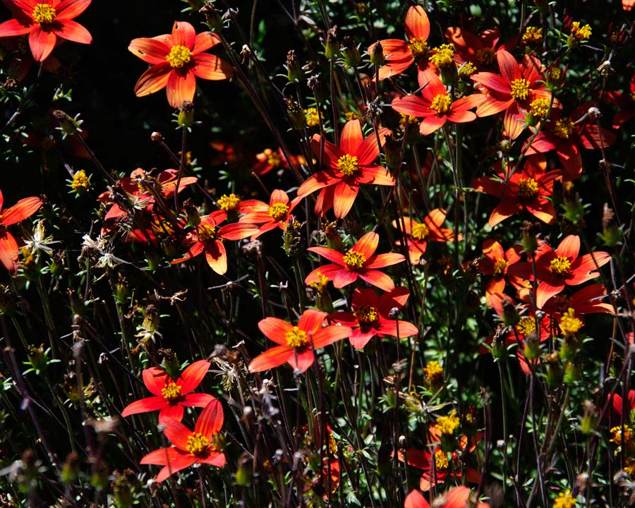 Bidens 'Campfire' two tone red flowers