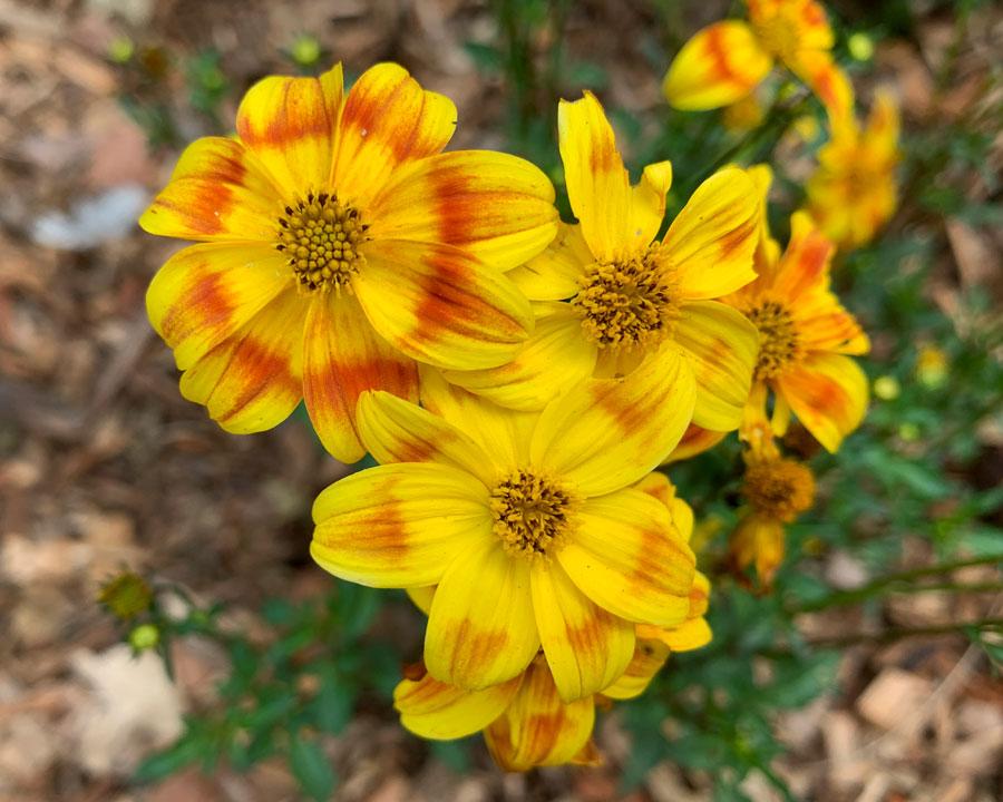 Bidens ferulifolia 'Bee Bold'