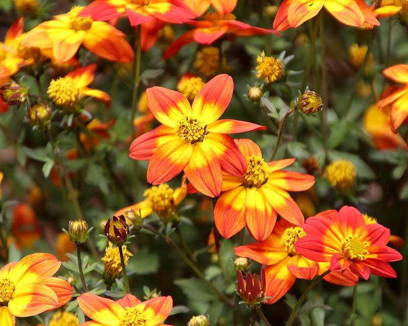 Bidens ferulifolia 'Blazing Glory'