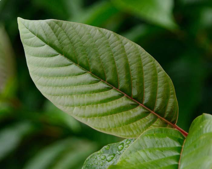Camptotheca acuminata. Deeply veined leaf
