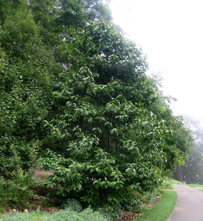 Camptotheca acuminata. Happy Tree