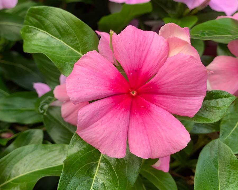 Catharanthus rosea 'Cora Cascade Mix'