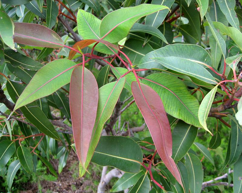 Corymbia ficifolia foliage