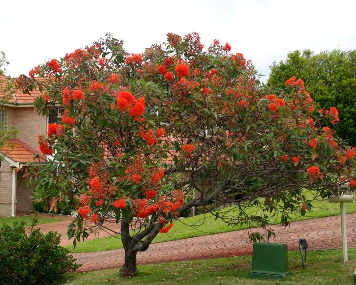 Corymbia ficifolia - good specimen for average gardens, delivers huge colour in summer