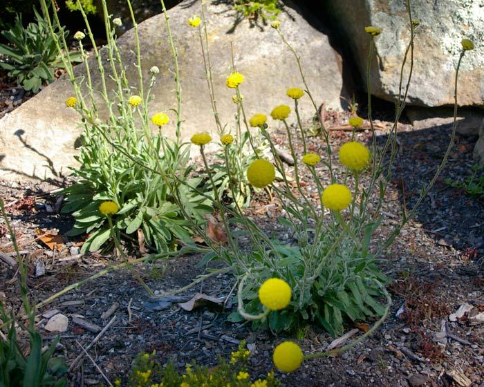 Gardensonline Craspedia Glauca Syn Craspedia Variabilis