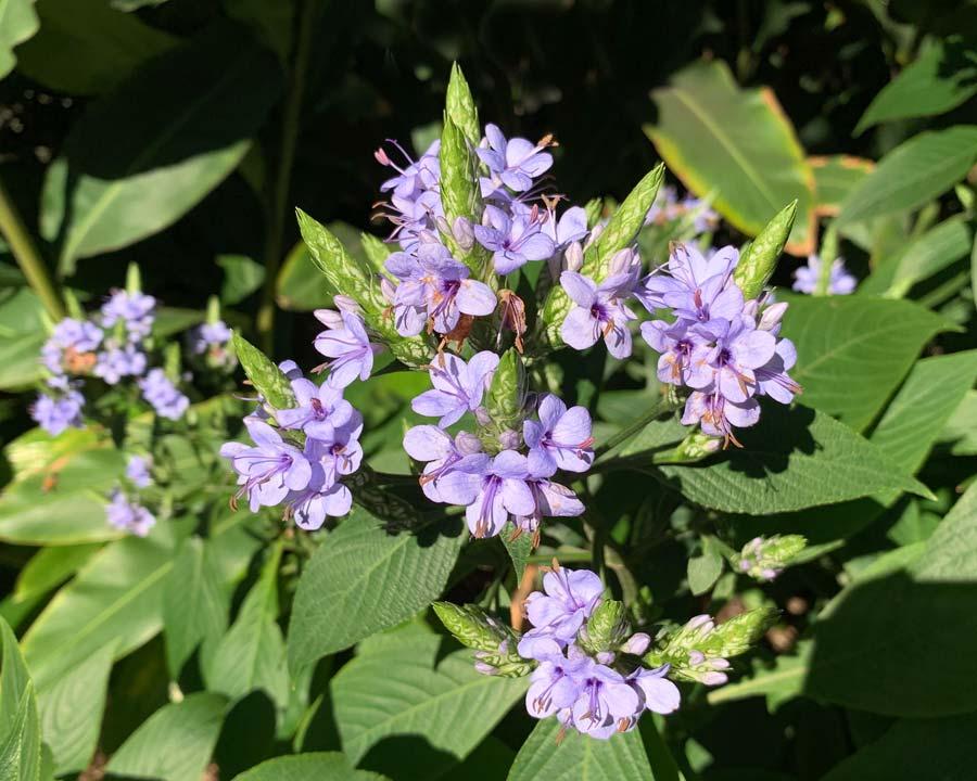 Eranthemum pulchellum -  Blue Sage or Blue Eranthemum