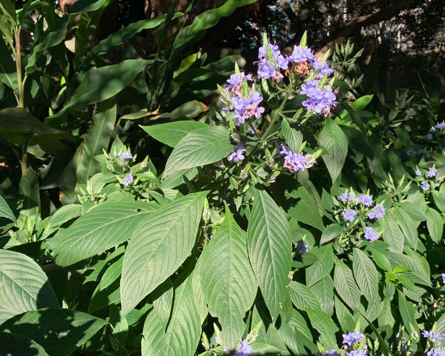 Eranthemum pulchellum - Blue Sage