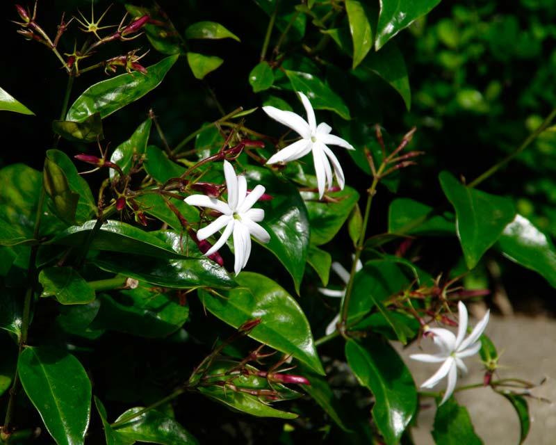 Jasminum nitidum - Angel Wings Jasmine - star-like white flowers