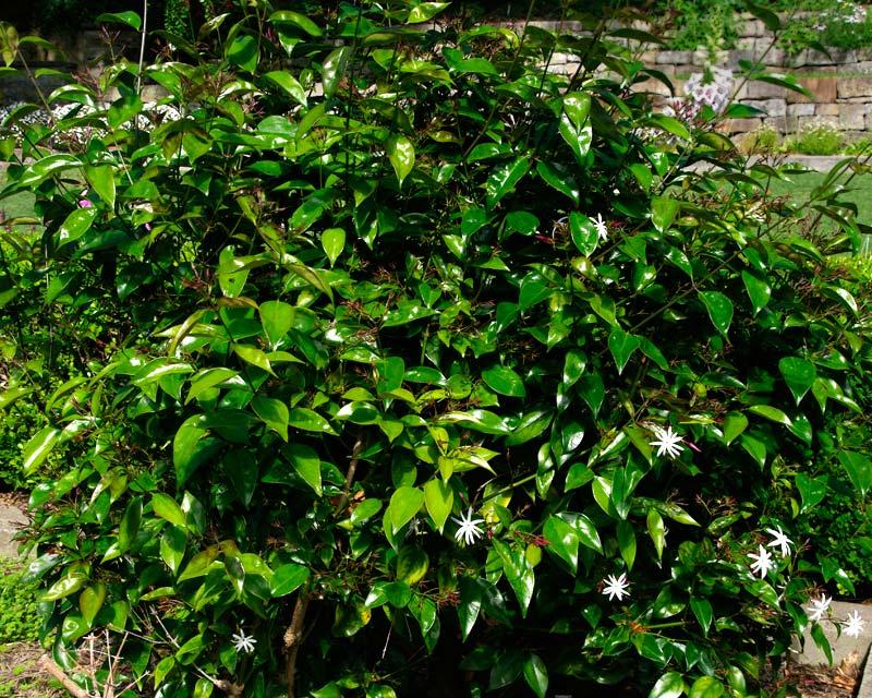 Star Jasmine Flower