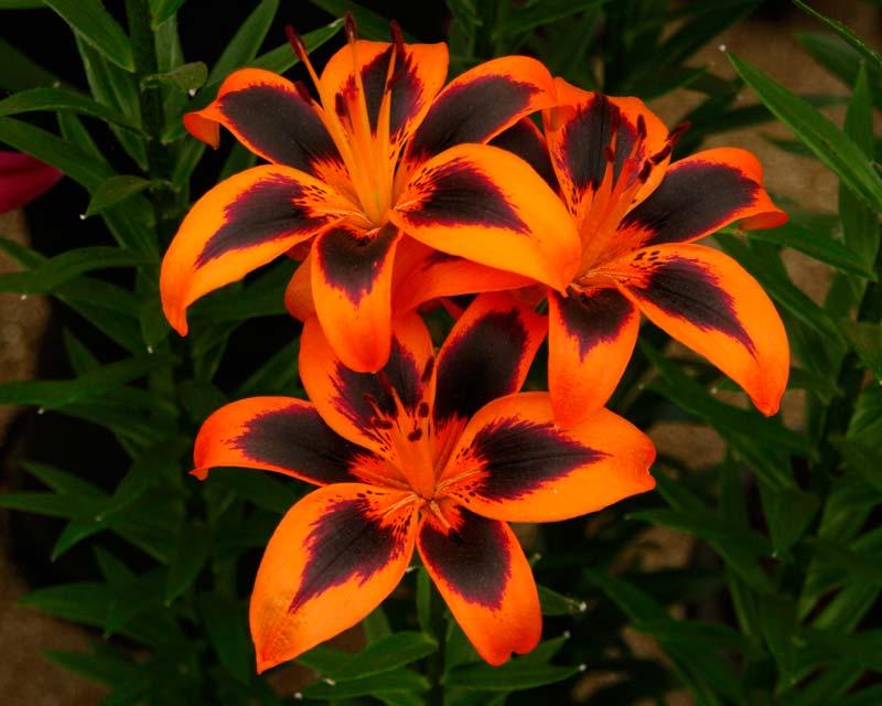 Lilium Asiatic hybrid Lily Allen - Orange with black markings