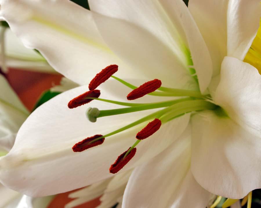 Lilium asiatic hybrid - classic florists Lillies