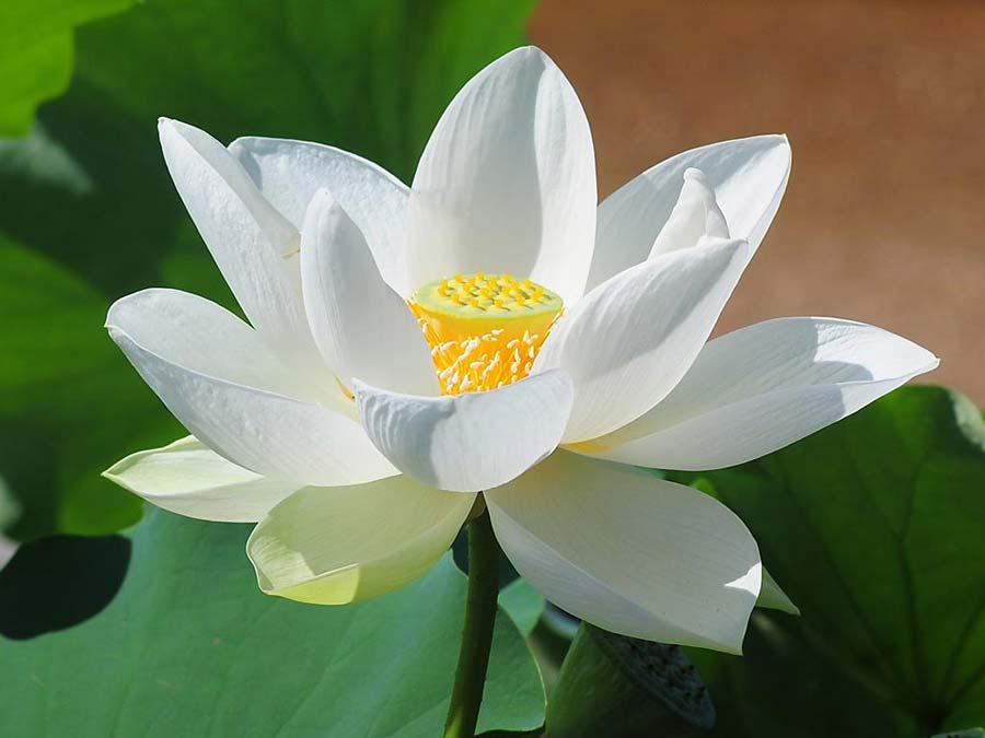 Nice Nelumbo Nucifera, Lotus