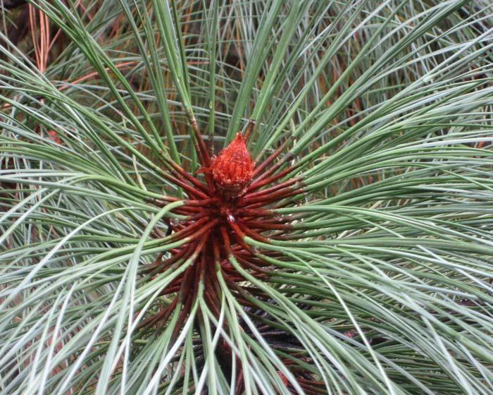Pinus Englamannii