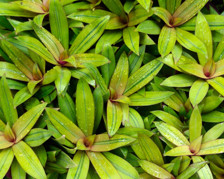 Tradescantia Spathacea 'Sitara Gold'. Yellow green leaves with dark green stripes