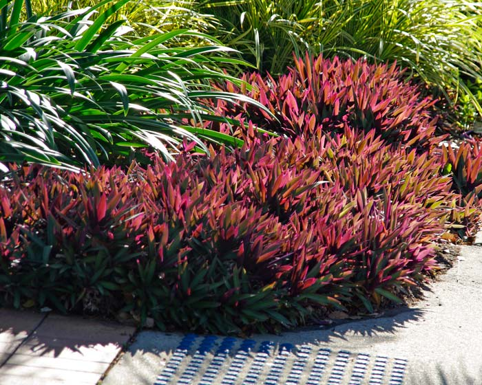 Tradescanthia spathacea as street planting in Port Douglas, Qld