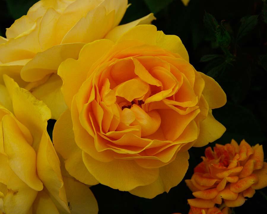 Rosa Floribunda Absolutely Fabulous
