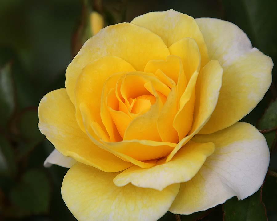 Rosa Floribunda Best Wishes