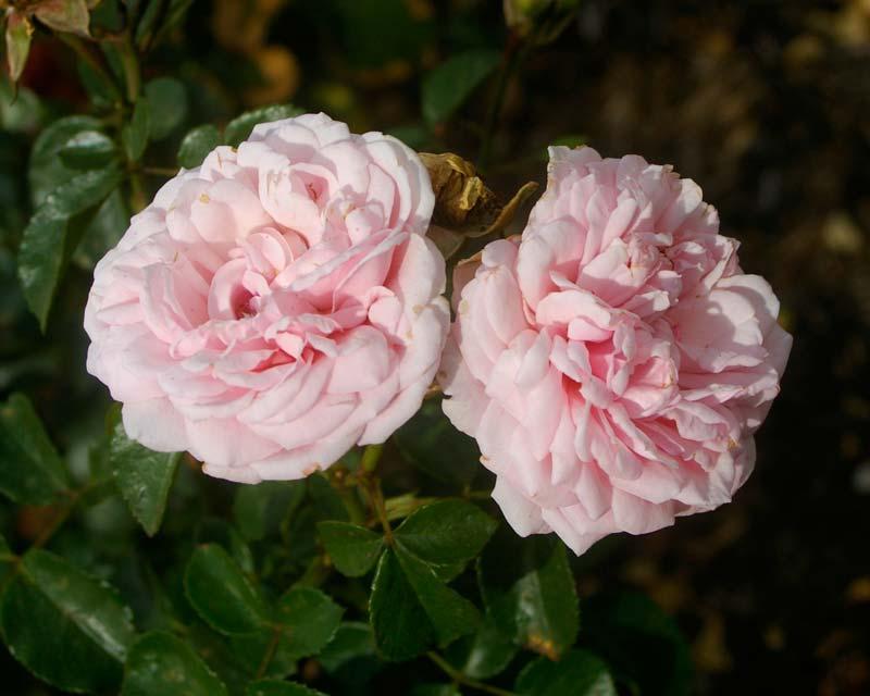 Rosa Floribunda Bonica