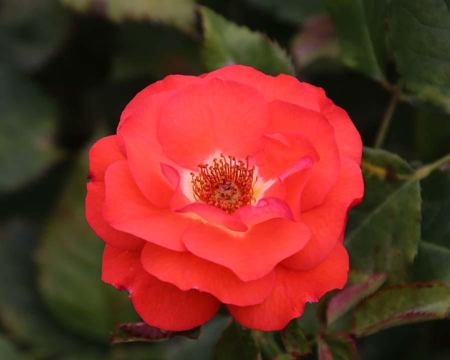 Rosa Floribunda Fireball