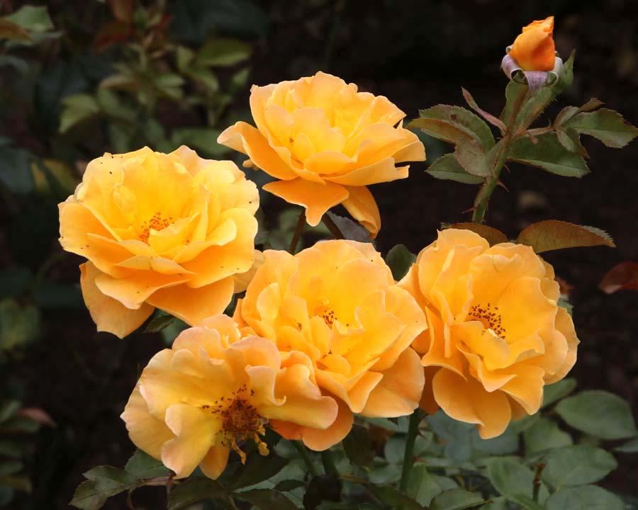 Rosa Floribunda 'Gold Dust'.
