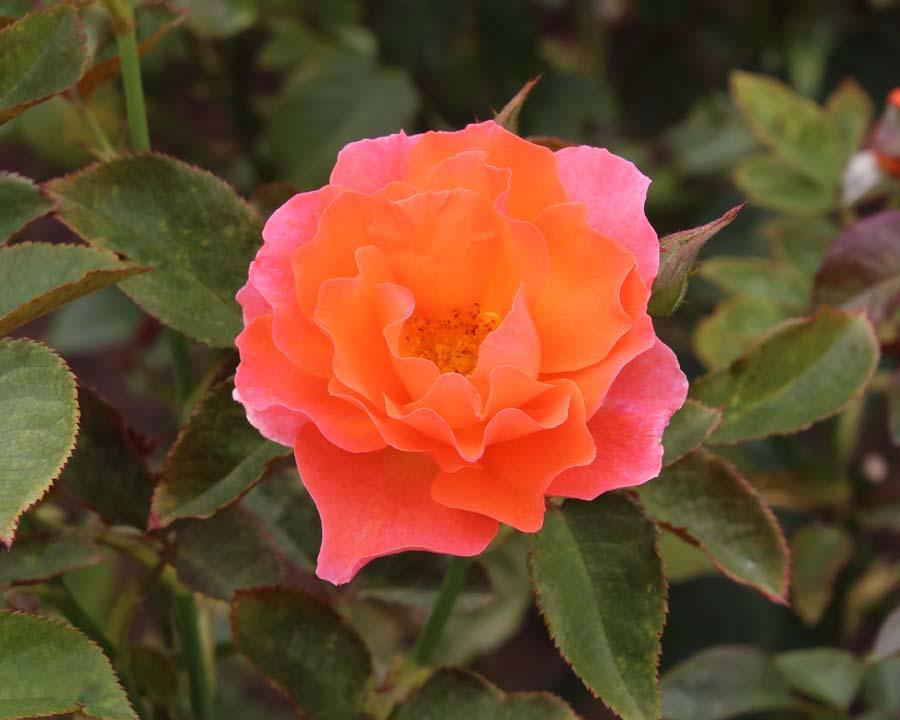 Rosa Floribunda Hot Topic