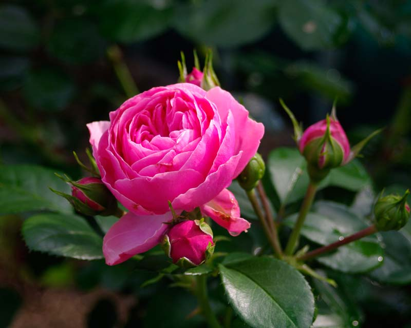 Floribunda Rose - Leonardo Da Vinci, bred by Meiland