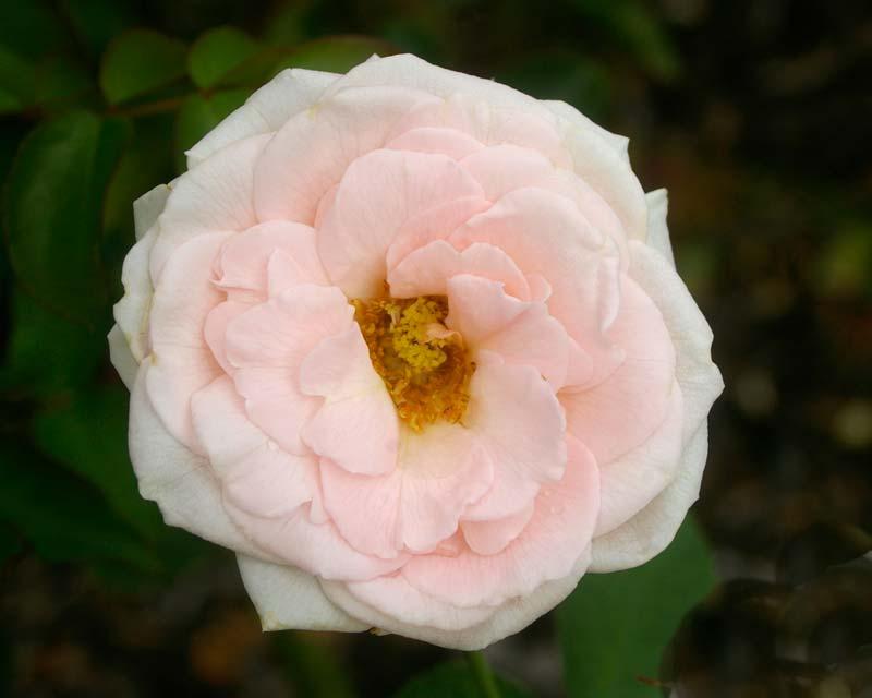 Rosa Floribunda Pink Chiffon