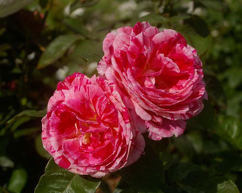Rosa Floribunda Scentimental