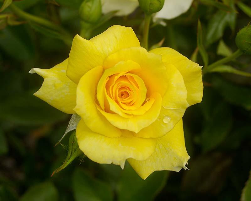 Rosa Floribunda Sunflare