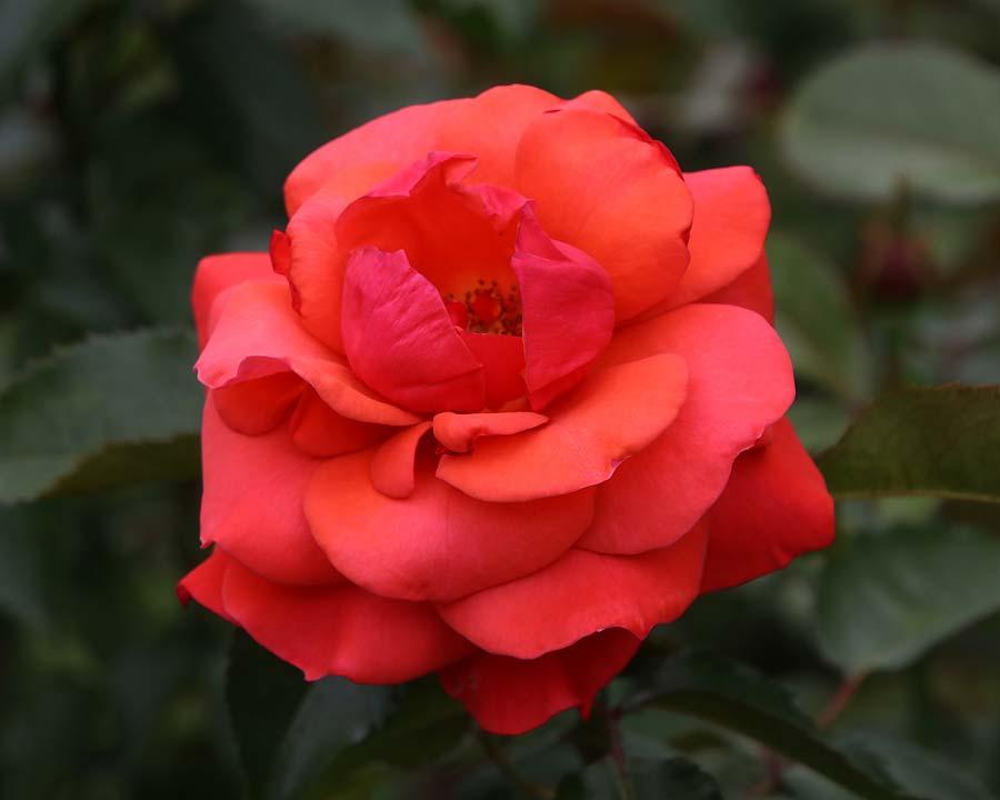 Rosa Floribunda Top Shelf