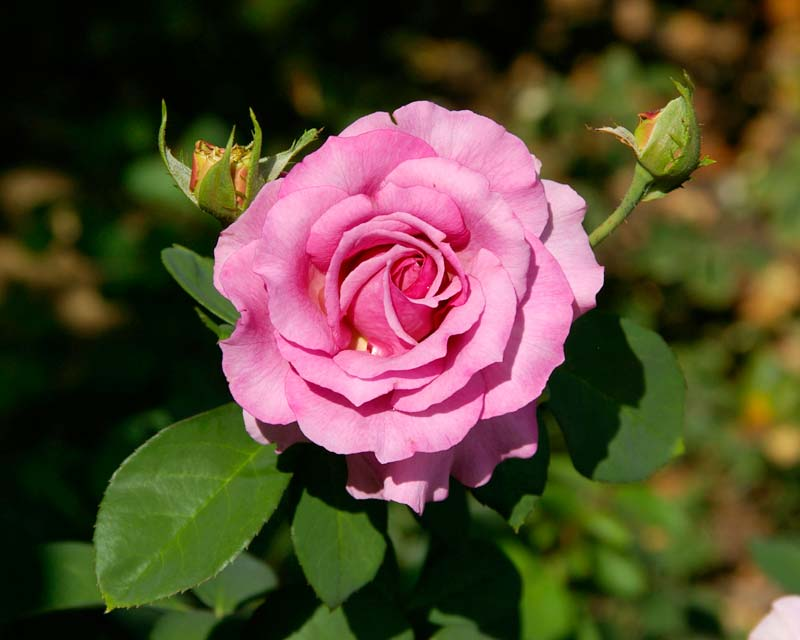 RosaFloribunda Tutu Mauve