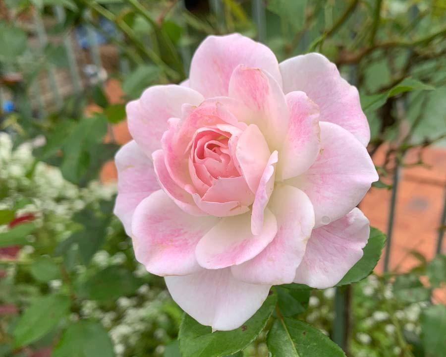 Iceberg Rose - 'Blushing Pink'