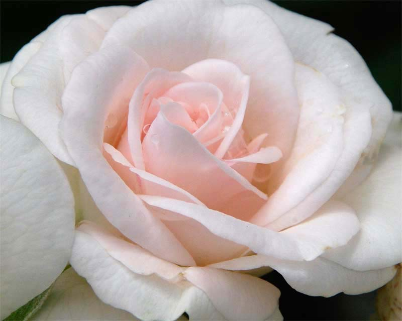 Rosa floribubnda - this is Aspirin