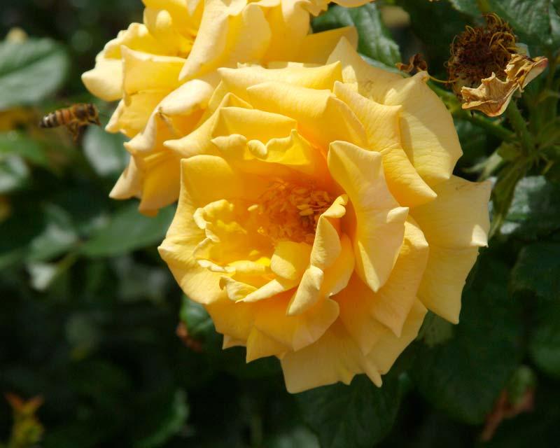 Rosa Floribunda Group - this is Golden Girls