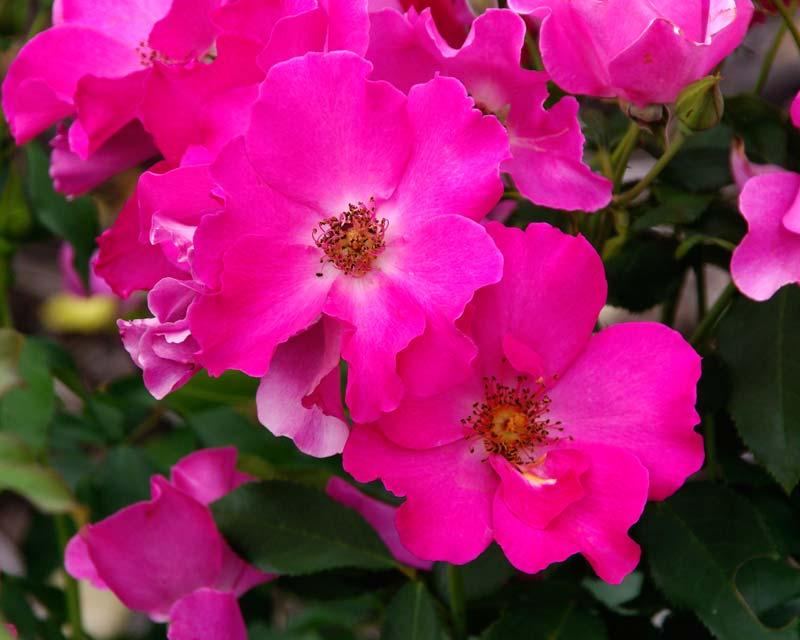 Rosa floribunda - this is Playgirl