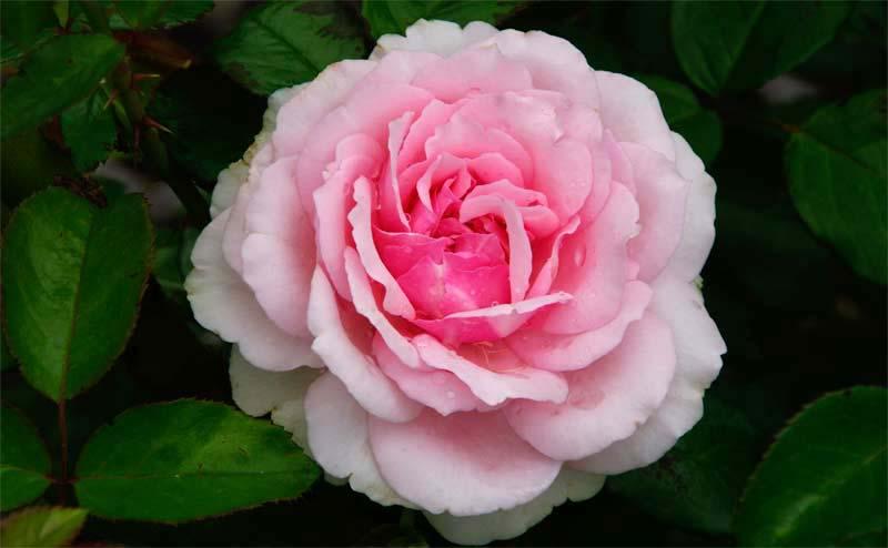 Rosa floribunda - this is Radox Bouquet