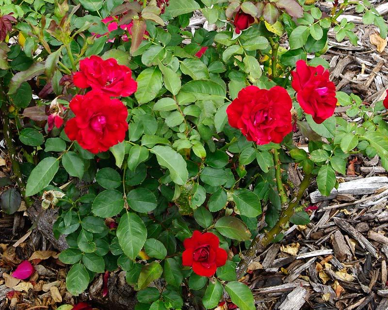 Rosafloribunda - this is RedPixie
