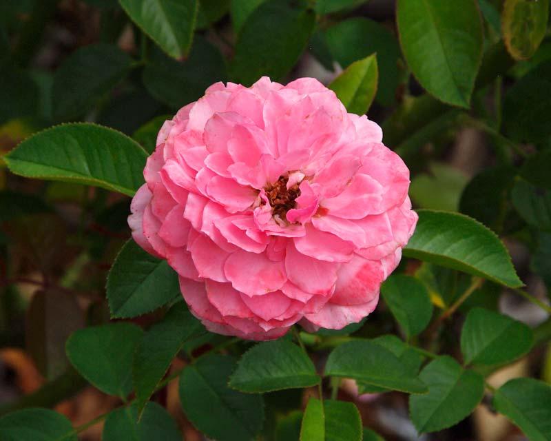 Rosa floribunda - this is Sexy Rexy