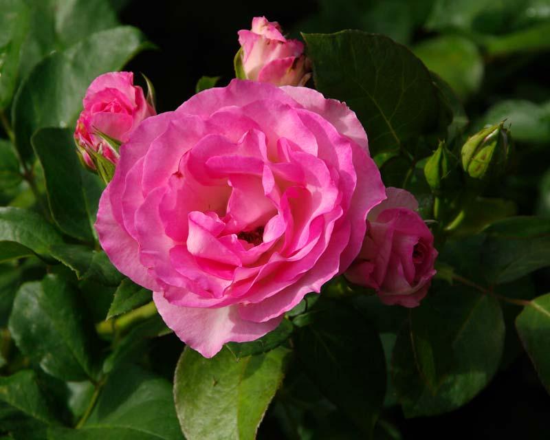 Rosa Floribunda Group - this is Strawberry Ice