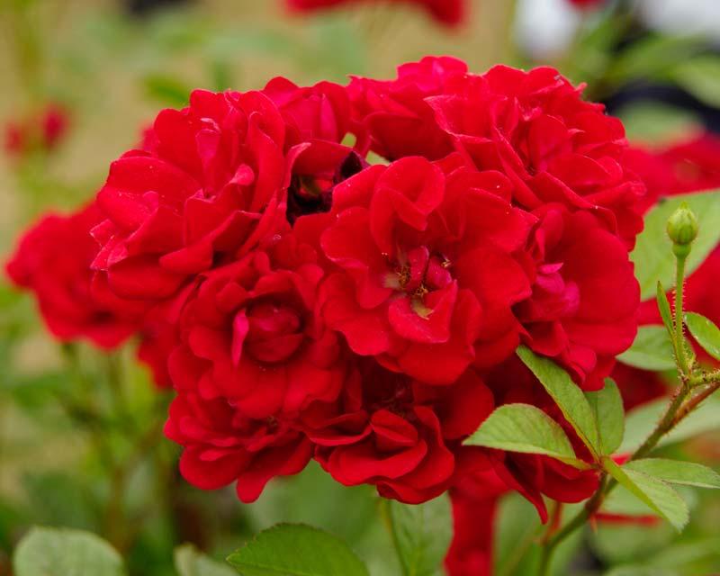 Rosa Polyantha Miss Edith Cavell