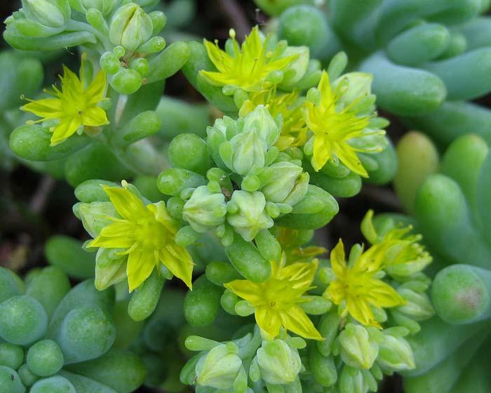 Sedum x Rubrotinctum - Jelly Bean Plant