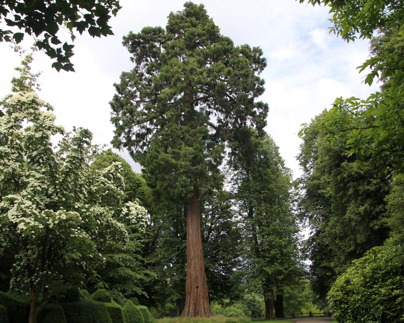Sequoiadendron giganteum, or Wellingtonia - as seen at Nymans, Sussex, UK