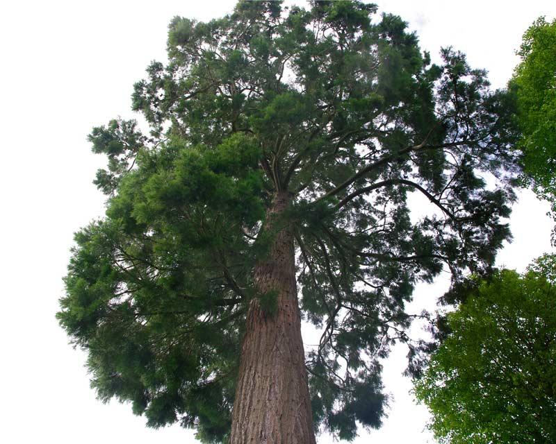 Sequoiadendron gigantium