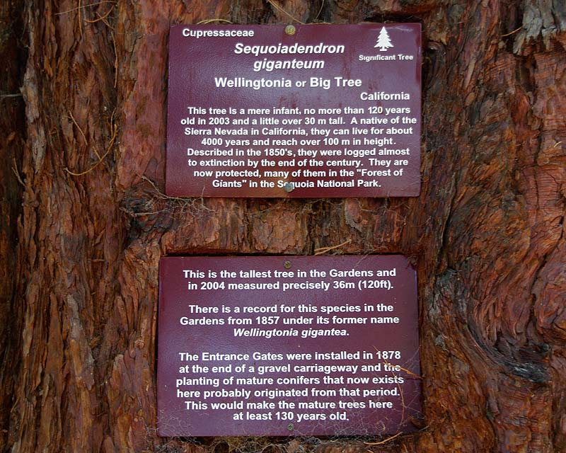 Sequoiadendron Gigantum - the sign as seen at the entrance to Hobart Botanic Gardens