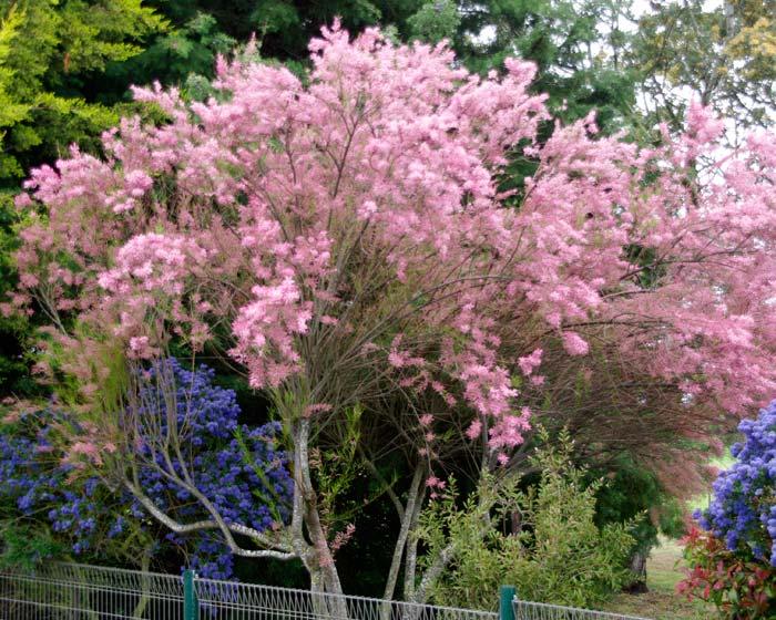Gardensonline Tamarix Parviflora