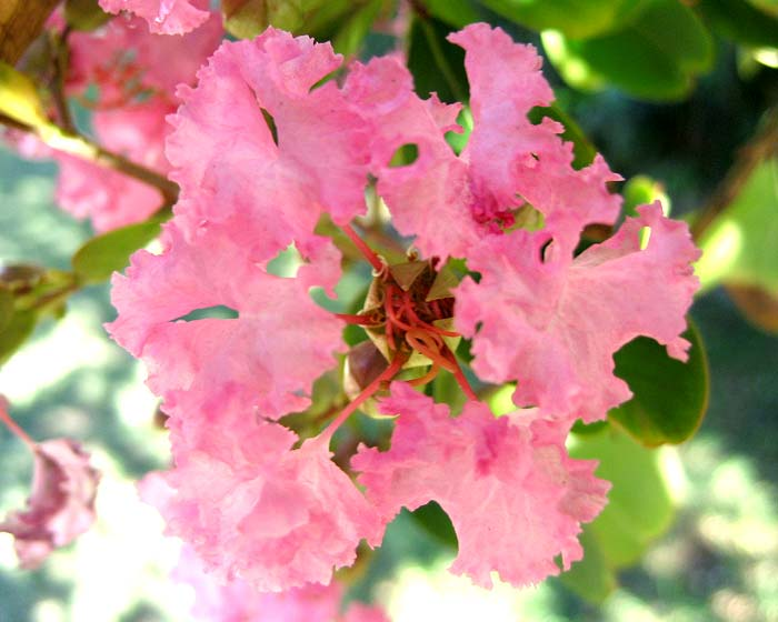 Lagerstroemia indica hybrid - pink  close up of flower