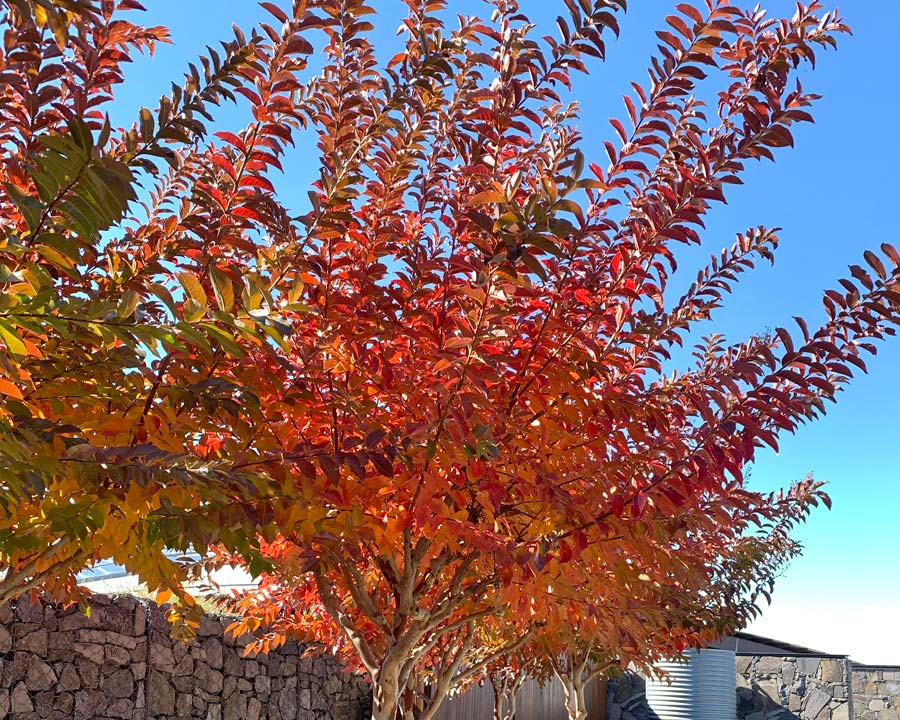 Lagerstroemia - vibrant autumn colour in areas with colder winters