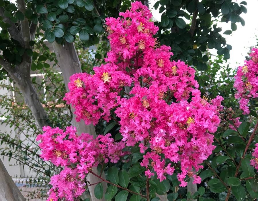 Lagerstroemia indica - one of many hybrid with deep pink flowers